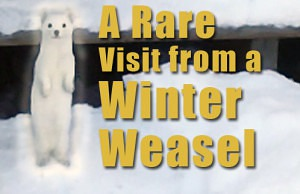 A-visit-from-a-winter-wease