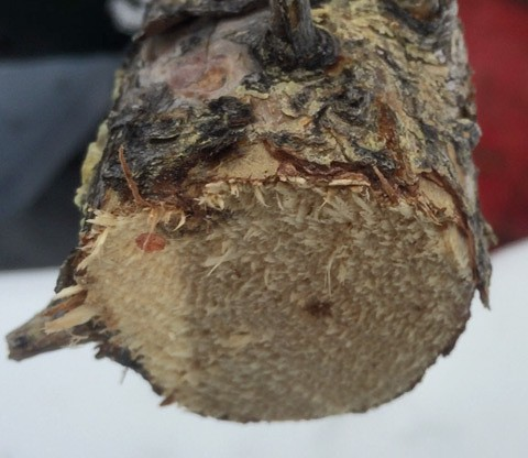 Top-of-dead-pine-tree
